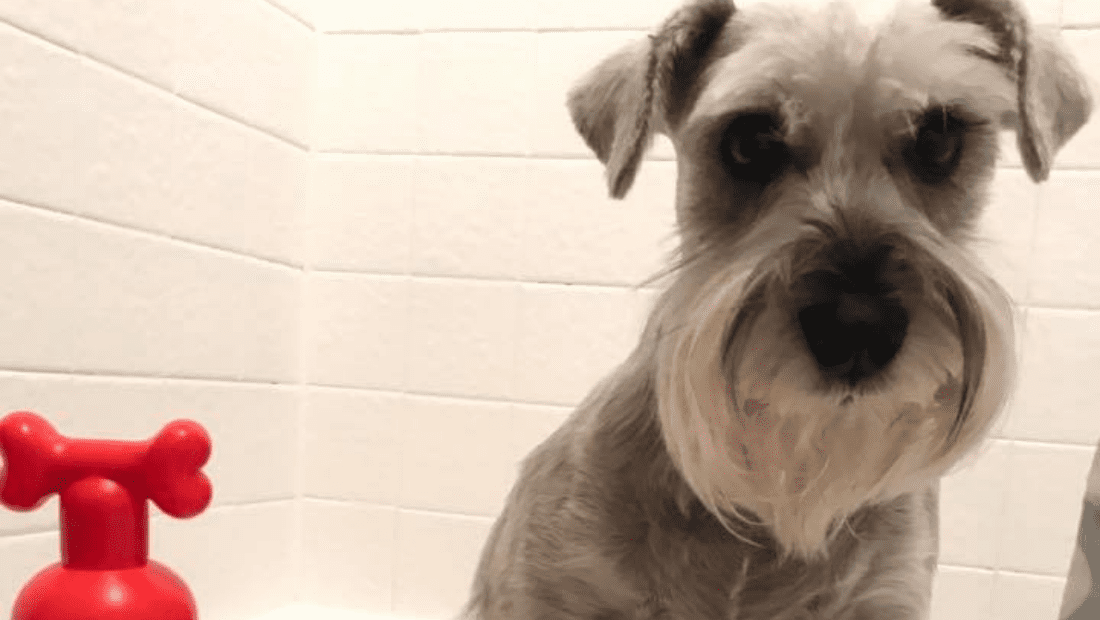 A schnauzer in the bath next to a bottle of Pet Head