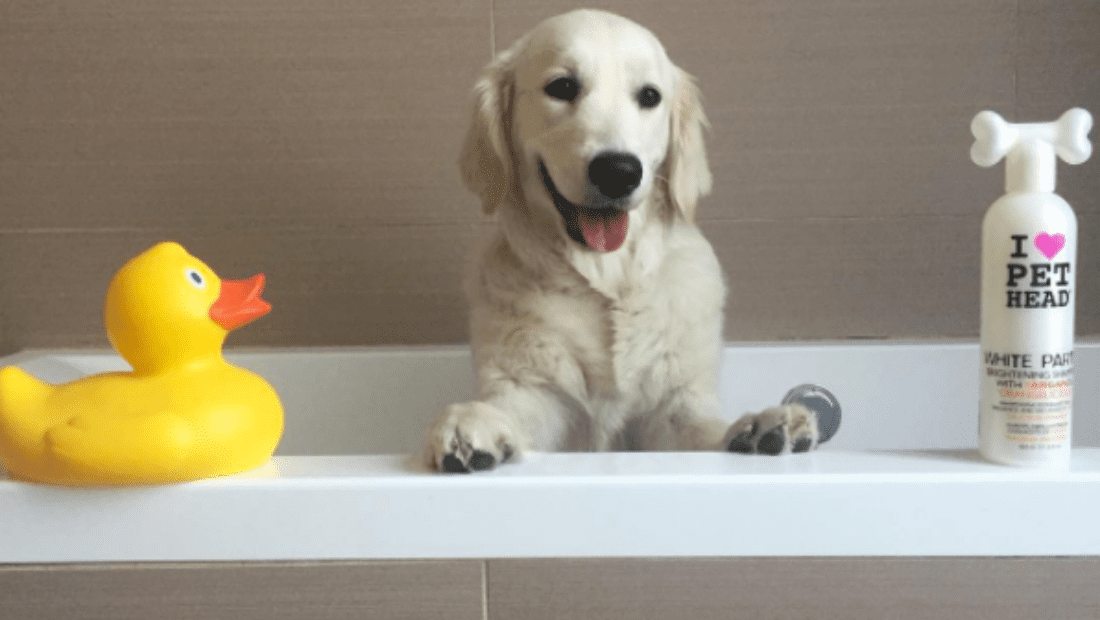 A dog sat in a bath next to a bottle of Pet Head White Party and a rubber duck!